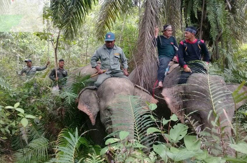 Kawanan Gajah Liar Diusir ke Pegunungan Aceh Timur