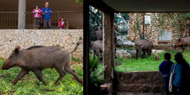 Gara-Gara Corona, Kota Ini Dikuasi Babi Hutan