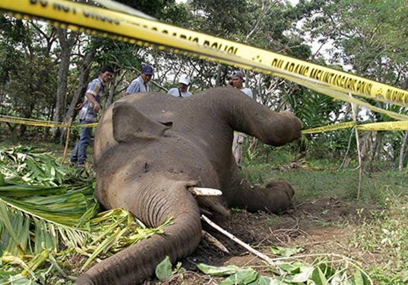 Lagi-Lagi Ditemukan Gajah Mati Di Aceh